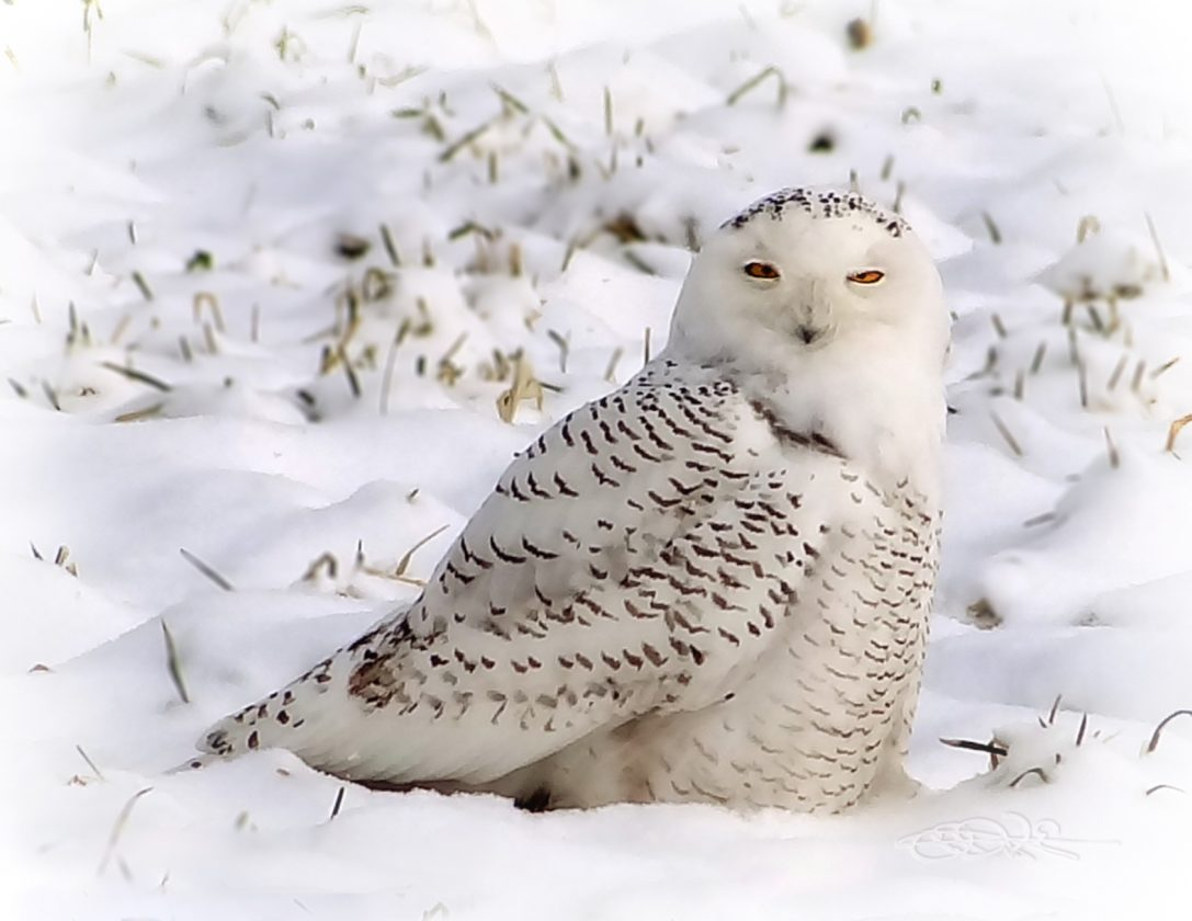 Snowy Owls are not normally spotted this far south.  This guy was huddled in the snow along the highway.