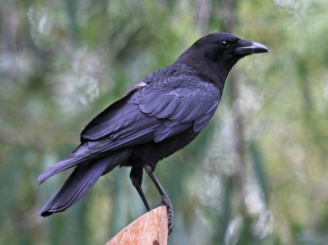 American Crow. Courtesy of the Creative Commons Attribution-Share Alike 3.0 Unported license