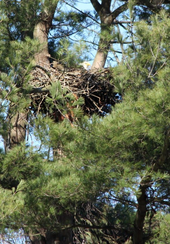 More Bald Eagle nests were easily visible from the road this year.