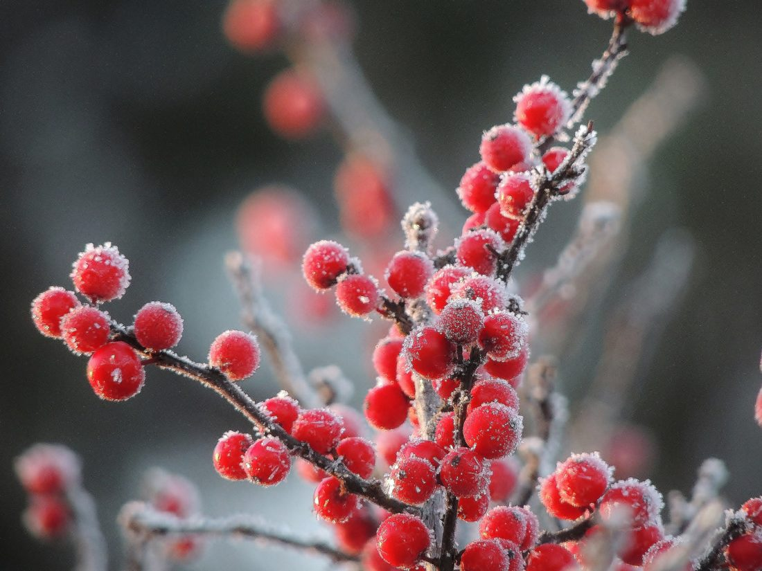 Frost on Winterberry Holly.