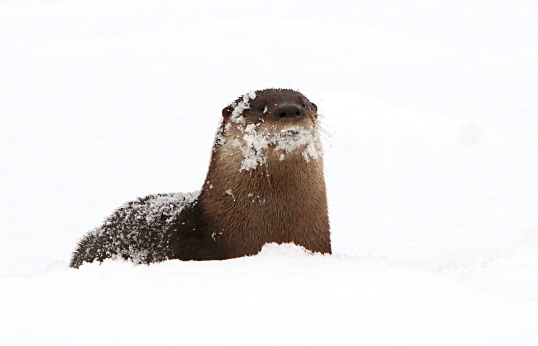 River Otters sometimes make a loud piercing, bird-like chirp, which can be heard in the right place at the right time.
