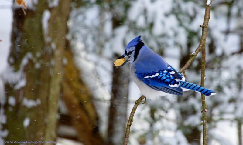 Bluejay. Photo by Karen Sue Gentilman Clopp