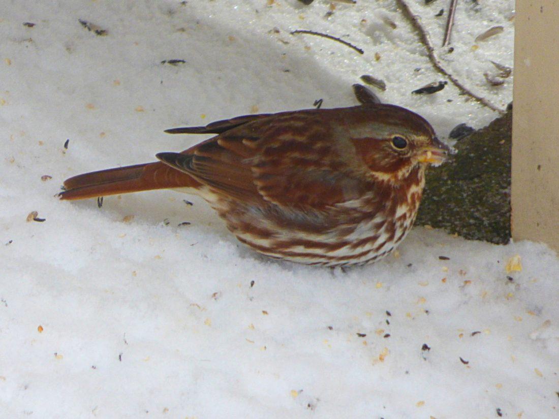 Fox sparrow. Photo by Karen Sue Gentilman Clopp