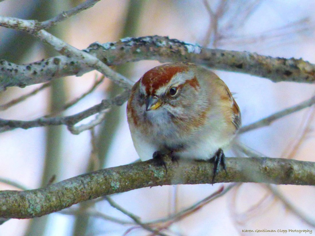 Tree sparrow. Photo by Karen Sue Gentilman Clopp