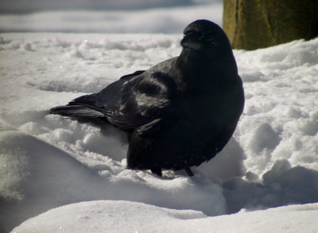 Crow at my feeder.  Photo by Sandy Robison