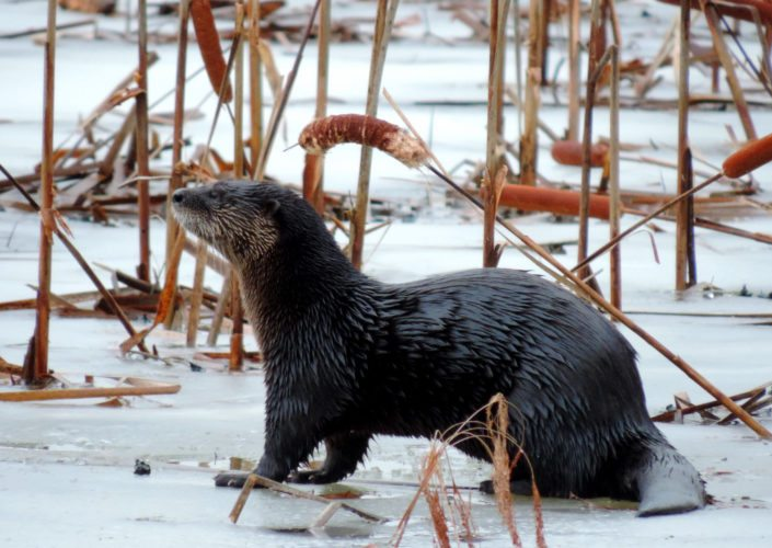 River Otter, who just emerged from a hole in the frozen pond.