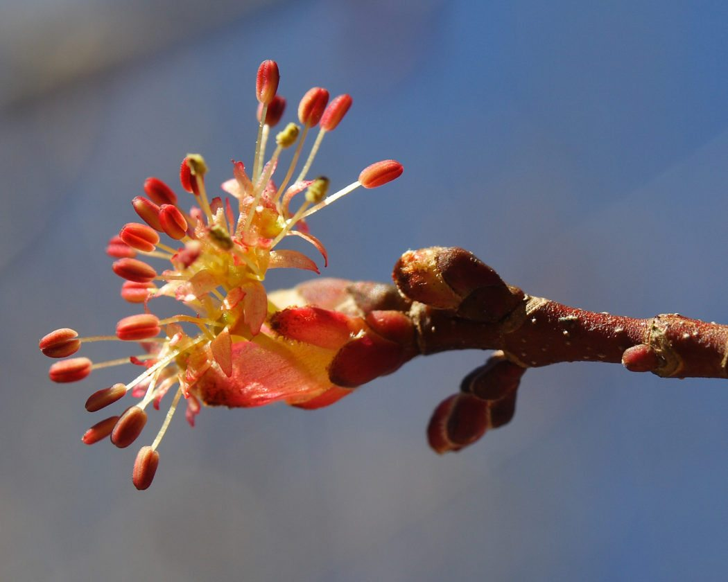 A Red Maple blossom is pictured.