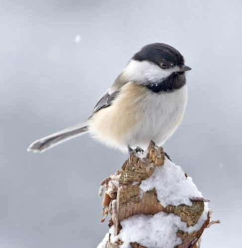 """""""Beautiful Birds"""" is the theme for Audubon Community Nature Center's Little Explorers on Saturday, Feb. 10. Through an indoor lesson and a walk outside, children ages three to eight and their favorite grownups will learn all about birds, like the black-capped chickadee pictured. Photo by Suzette Paduano"""