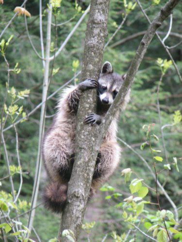 A raccoon in a tree.  Photos by Jeff Tome