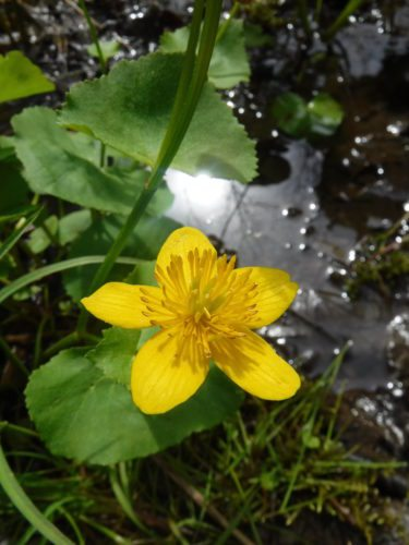 Marsh Marigold (Caltha palustris) is an excellent native plant for wet areas and rain gardens.  Photo by Jonathan Townsend