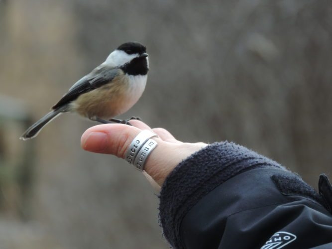 Black-capped Chickadee trained to feed from hands.  Photos by Katie Finch