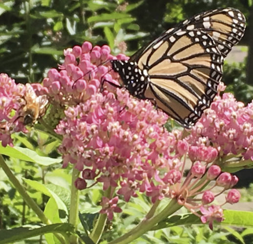 More Fireworks No Milkweed And We Need >> Nature News Sports Jobs Post Journal