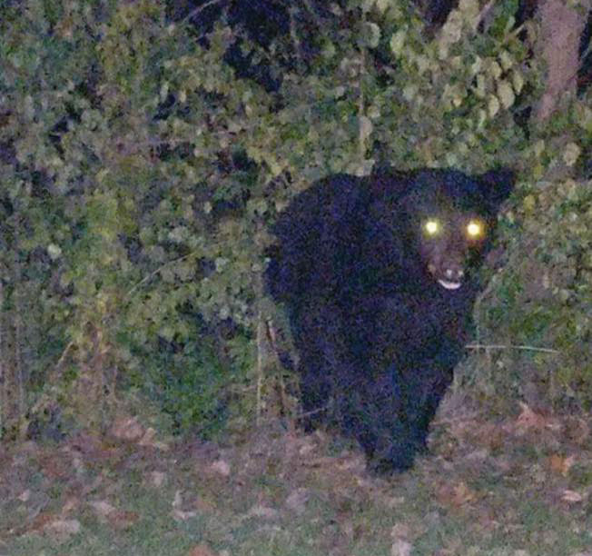 A large black bear is seen walking near the Heights Manor apartment building in LaCroft on Saturday night. City officials are warning people to stay away from and not feed the bear—one of two spotted Saturday night. (Photo courtesy of the city of East Liverpool)