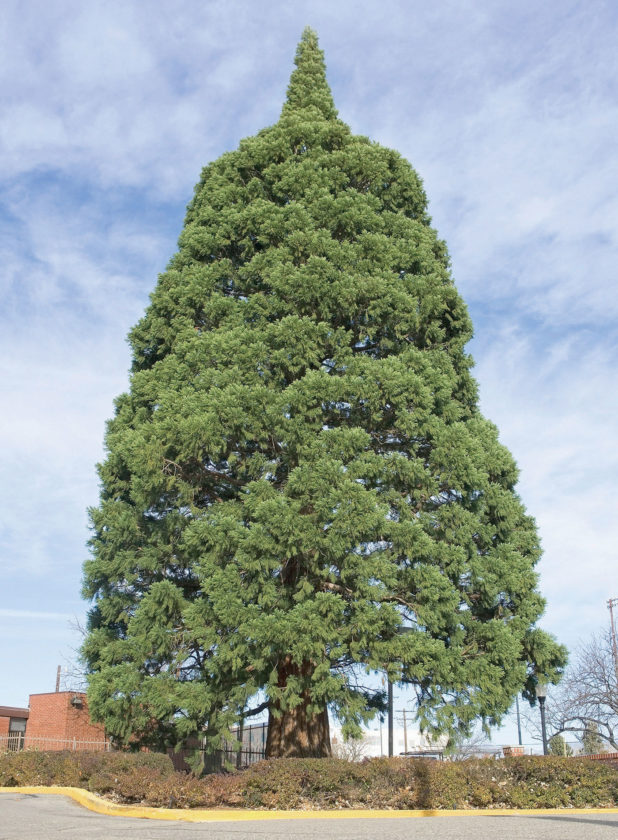 This Nov. 22, 2006, file photo a giant sequoia tree sits next to St. Luke's Hospital in downtown Boise, Idaho. The sequoia tree that was a seedling sent more than a century ago by naturalist John Muir to Idaho and planted in the yard has become an obstacle to progress. The 98-foot (30-meter) sequoia planted in 1912 that's in the way of the Boise hospital's expansion is being uprooted and moved about a block to city property. (AP Photo/Troy Maben, File)
