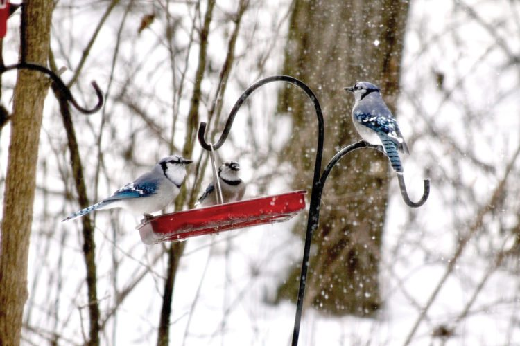 Blue jays are constant visitors to the feeder at Pam Smith's home in Yellow Creek Township. (Submitted photo)