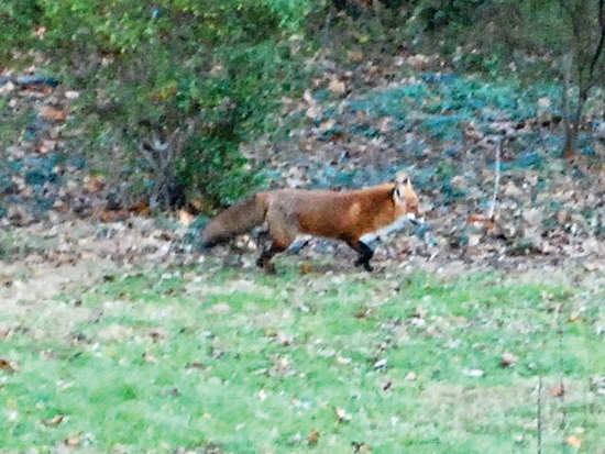 BILL BOWER/Sun-Gazette Correspondent This red fox caused quite a stir on Christmas Day.