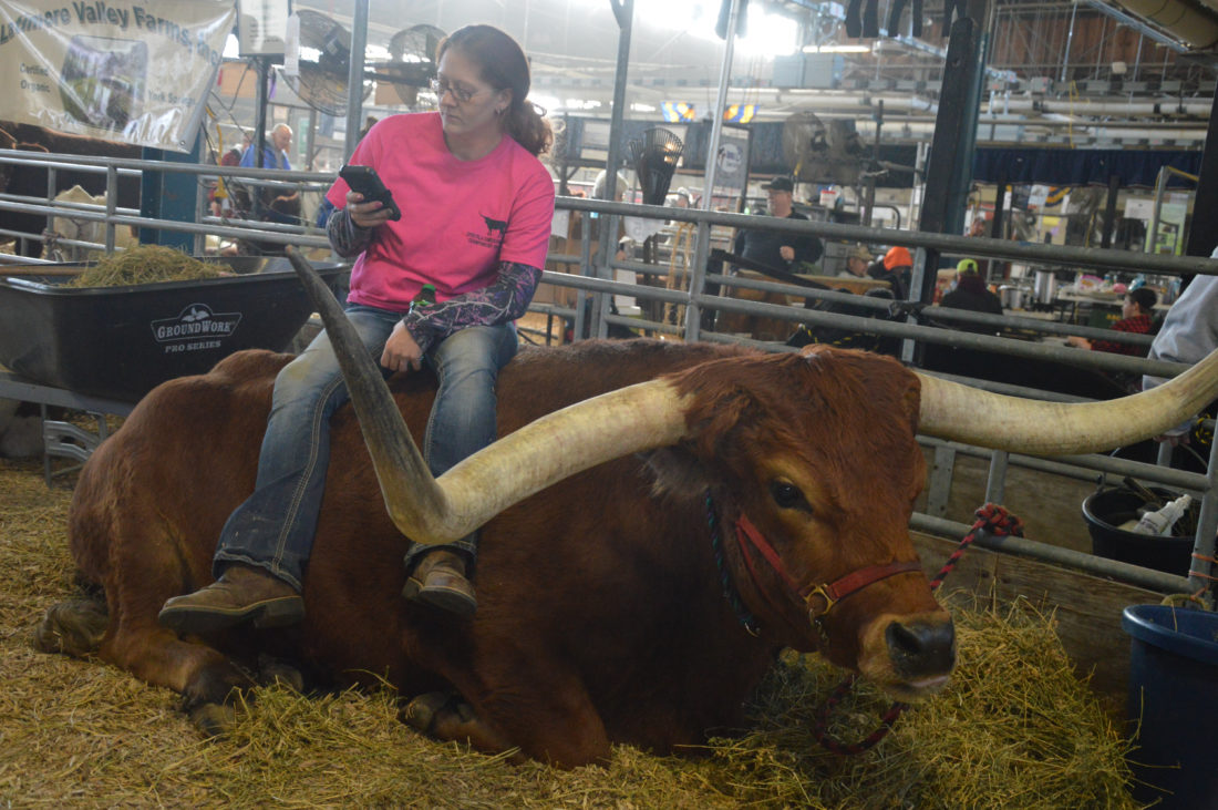 "KATELYN HIBBARD/Sun-Gazette Theresa Stout, of Bethel, nonchalantly sits atop her Dam Pacific Brownie ""Nel-Tam Happy Bear."" The steer won first in his class and was the overall champion of the all-age senior steer competition at the 101st state Farm Show."