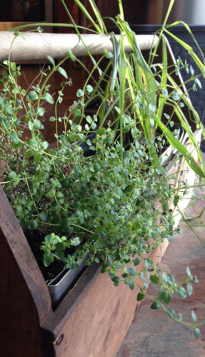 PHOTO SUBMITTED Thyme and lemongrass grow in an old tool box in an area gardener's home.