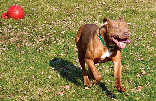 PHOTO PROVIDED Maxwell plays in a yard at the Lycoming SPCA.