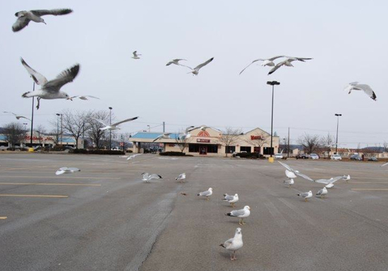 BILL BOWER/Sun-Gazette Correspondent Feed one gull and you'll soon have a flock of gulls.