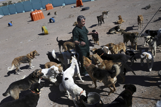 In this picture taken on Sunday, March 5, 2017, veterinarian Hamid Ghahremanzadeh, chief of Aradkouh Stray Dogs Shelter plays with some of his charges on the outskirts of the capital Tehran, Iran. The shelter has been hired by the Tehran city government to take a new, more humane approach to deal with the burgeoning problem of stray dogs in the capital. ItÕs a sign of changing attitudes among officials in a country where Islamic authorities long saw dogs as Òun-IslamicÓ and would at times confiscate them from people who kept them as pets. (AP Photo/Vahid Salemi)