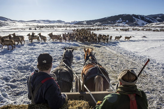 ASSOCIATED PRESS Lucas Bielby, left,  and Jay Hoggan drive their team out to feed elk Friday, Feb. 17, 2017, on the Patrol Cabin feed ground in the Gros Ventre north of Jackson, Wyo. While wintering elk have spread out across three feed grounds along the drainage in years past, only about 1,000 elk remained on the Patrol Cabin feed ground this year. (Ryan Dorgan/Jackson Hole News & Guide via AP)