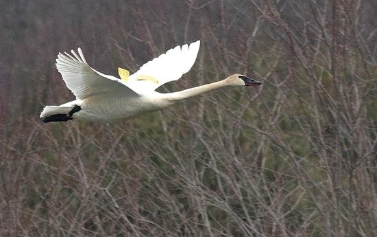 PHOTO COURTESY OF DAVID BROWN          A male trumpeter swan, identified  by its wing tags  as M78, flies over  Rose Valley Lake  in Gamble Township on March 25.