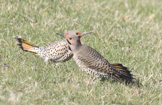 PHOTO COURTESY OF DAVID BROWN Two male flickers perform territorial behavior on a lawn in South Williamsport on April 10.