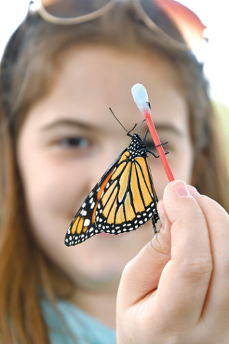 MARK NANCE/Sun-Gazette Reese Walizer, 9, of Montoursville, examines a monarch butterfly on her Q-tip at Folks Butterfly Farm's booth during Rider Park's open house Sunday.
