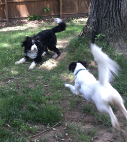 PHOTOPROVIDED Ivy Daverio and Bentley Hennessy play in the yard. Ivy is demonstrating a play bow while Bentley is taking her up on her offer to play and run.