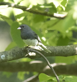 PHOTO COURTESY OF DAVID BROWN While walking in Loyalsock State Forest on June 12, the photographer spotted this dark-eyed junco.
