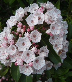 BILL BOWER/Sun-Gazette Correspondent These mountain laurel flowers are just beginning to open.