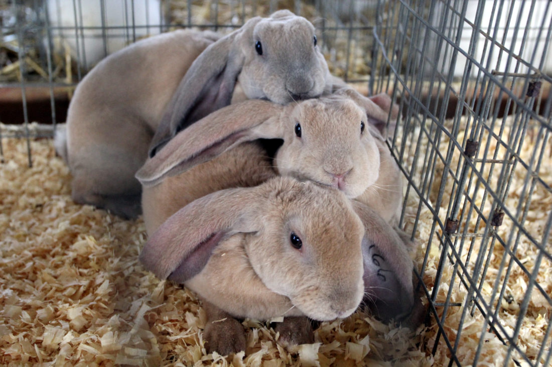 Velveteen Lop Rabbits Snuggle Together In The Bunny Barn At Lycoming County Fair Tuesday Morning Animals Inside 4 H Barns Will Be Shown To