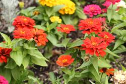 CARA MORNINGSTAR/Sun-Gazette Zinnias soak up sunlight in Way's Garden in Williamsport on Sunday.