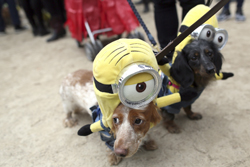 In this Oct. 24, 2015, file photo, Dachshunds Eli, left, and Emily in Minion costumes participate in the annual Tompkins Square Halloween Dog Parade in New York. It's a trick-or-treating tradition: Dump the night's candy haul onto the living room floor to pick out the gems, or do some horse trading with siblings and friends. The excitement Ñ and sugar rush Ñ may leave humans unaware that all that candy might just be lethal for pet dogs and cats, however. (AP Photo/Mary Altaffer, File)