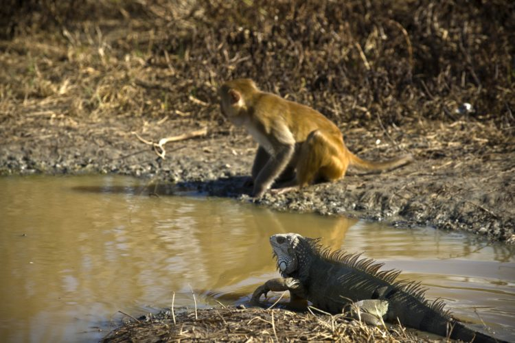 ASSOCIATED PRESS A monkey walks near a pool of water next to an iguana in Cayo Santiago, known as Monkey Island, in Puerto Rico, one of the world's most important sites for research into how primates think, socialize and evolve.