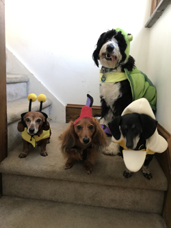 PHOTO PROVIDED The Daverio pups are shown dressed up for Halloween. From left, are Miriam (bee), Kevin (flying monkey), Walter (banana) and back row, Ivy (turtle).