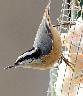 PHOTO COURTESY OF Charles Hildebrand A red-breasted nuthatch perches on a suet feeder.