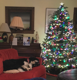 PHOTO PROVIDED Dr. Daverio's pet Ivy lays exhausted beside the tree after a a long lesson on Christmas.