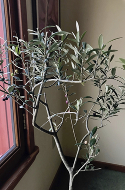This undated photo shows an olive tree growing in New Paltz, NY. As a symbol of peace and a native of Biblical regions, an olive tree is a good candidate for a holiday tree Ñ and, it grows well as a houseplant. (Lee Reich via AP)