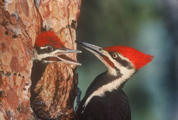 PHOTO PROVIDED The pileated woodpecker is one of the largest and most striking birds in the forest.