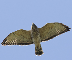 DAVID BROWN/Special to the Sun-Gazette David Brown snapped this photo of an adult broad-winged hawk at the Ashland Hawk Watch in Hockessin, Delaware, on Sept. 23.