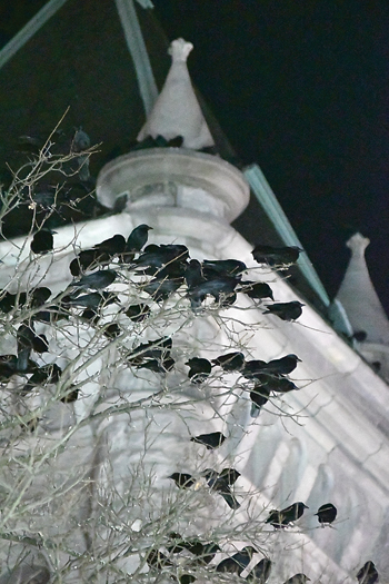 MARK NANCE/Sun-Gazette Crows roost in the branches of an oak tree next to City Hall on Tuesday night.