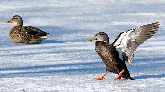 DAVID BROWN/Special to the Sun-Gazette An American black duck lands on the ice at Montoursville's Indian Park pond on Jan. 14. The bird to the left is a female mallard.