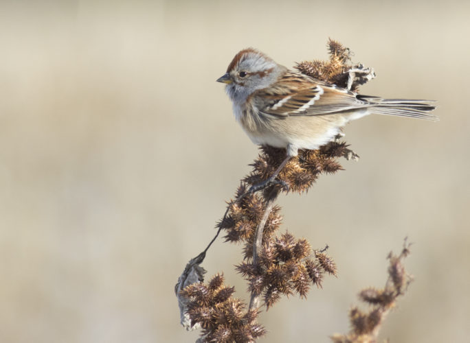 DAVID BROWN/Special to the Sun-Gazette        An American  tree sparrow  perches on a  dried stalk on  Dec. 26, 2017, at Lime Bluff Recreation Area in Hughesville.