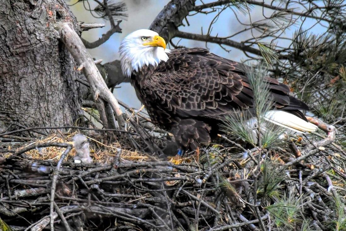 Bald Eagle Nesting Season Wraps Up As Bird Of Prey Makes Comeback