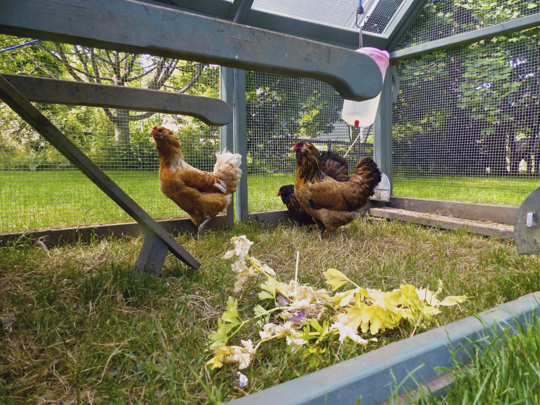 This June 20, 2015 photo shows chickens photographed inside a portable backyard coop near Langley, Wash. They eat large amounts of insects, grasses and seeds. But they also will damage small, tender plants like tomatoes in vegetable gardens. It's best to place barriers around your emerging edibles or confine the chickens until after the harvest. Kitchen scraps like these discarded celery tops, foreground, are fine to share, though. Gardening and raising chickens can be a good combination. But it does present challenges. (Dean Fosdick via AP)