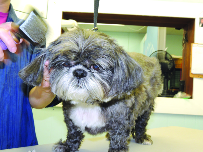 Local Shih Tzu Niko enjoys a fresh cut at Happy Tails Pet Salon in McMechen.