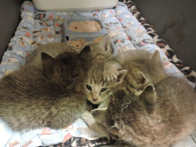Photo by Alan Olson Four-week-old kittens, fresh arrivals at the Marshall County Animal Shelter, huddle together for a nap.