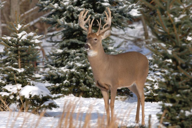 Photo Provided  A white-tailed deer looks out over a snowy field in this photo from the Ohio Department of Natural Resources website. Although many people may feel the need to help deer by feeding them through the winter, information from ODNR cautions residents against it, saying the animals will make it through the winter just fine.